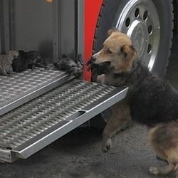 Une chienne met ses chiots à l'abri des flammes dans un camion de pompiers