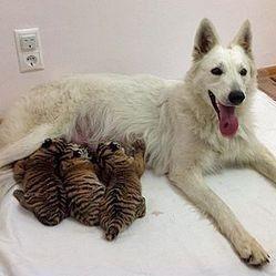 une chienne adopte des bébés tigres