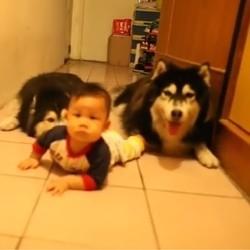 des chiens imitent un bébé