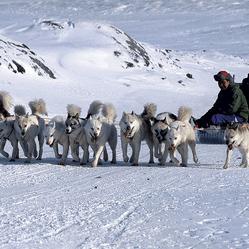chiens de traineau groenland