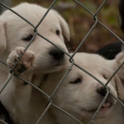 chiens maltraitance élevage