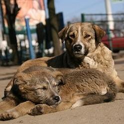 chiens errants en Roumanie