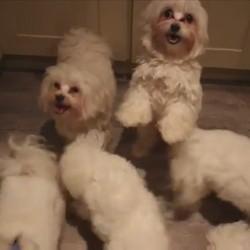 des chiens dansent le harlem shake