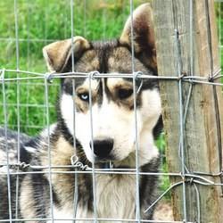chiens huskys traineau massacre canada