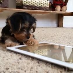 chien qui joue avec un ipad