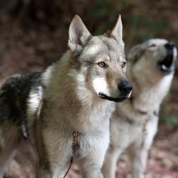 Des chiens loups surveillent les prisonniers en Louisiane