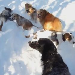 des chiens dans la neige