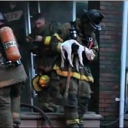 chiens sauvés d'une maison en feu par les pompiers