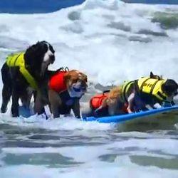chiens surfeurs video