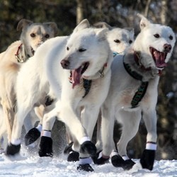 chiens traineau sauvent musher