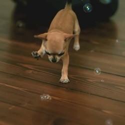 Un Chihuahua joue avec des bulles de savon