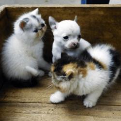 chihuahua chatons