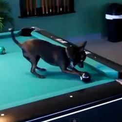 chihuahua joue billard video chien fun