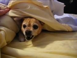 un Chihuahua qui refuse de lever