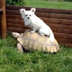un chihuahua sur le dos d'une tortue