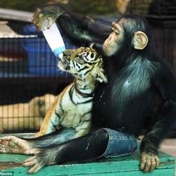 chimpanzé tigre biberon zoo bangkok