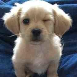 Les 20 races de chiens les plus recherchées sur Google (Photos)