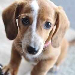 chiot adoption