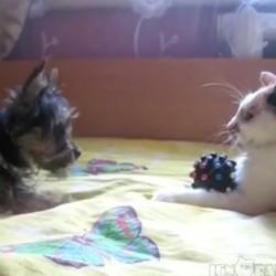 un chiot et un chat se chamaillent pour un jouet