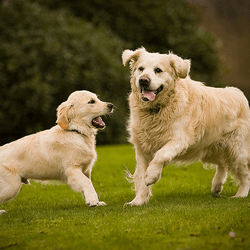 chiot chien adulte golden retriever
