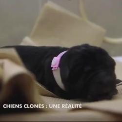 clonage chien
