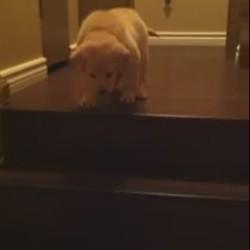 un chiot apprend à descendre un escalier