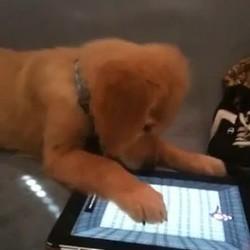 chien joue ipad video