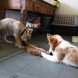 un chien et un louveteau