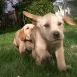 video chiots labrador