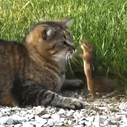 chat attaqué par écureuil