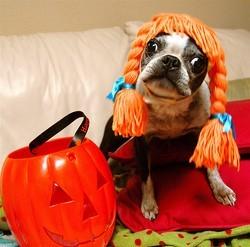 Chien déguisé en citrouille pour Halloween