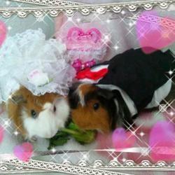 Cobayes habillés en tenue de mariage