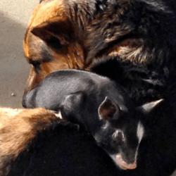 cochon et chien