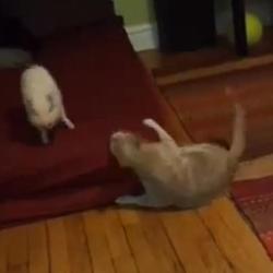 Chat et cochon qui jouent ensemble