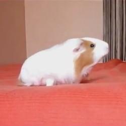 Ce cochon d'inde fait de l'agility