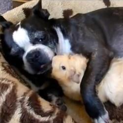 Cochon d'Inde et Terrier de Boston