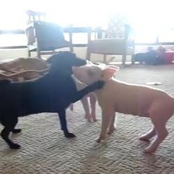 chien et cochons jouent video