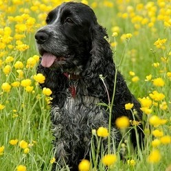 cocker anglais spaniel