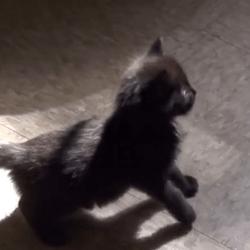 chaton ombre