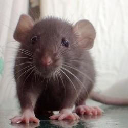 comment prendre soin de votre rat