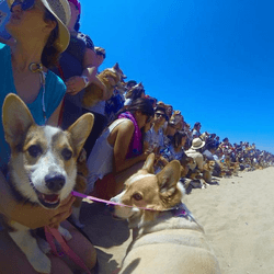 welsh corgi plage