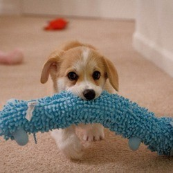 chien corgi jouet