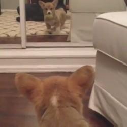 Un chiot voit pour la première fois un miroir