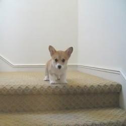 un chiot corgi tente de descendre un escalier