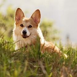 chien corgi