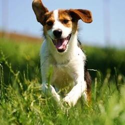 course pied chien