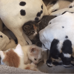 dalmatiens chatons