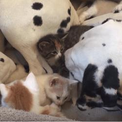 dalmatiens chatons