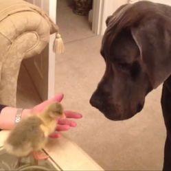 Danois et bébé oie