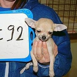 un trafic de 9 000 chiens et de chiot démentelés